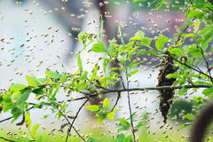 Bee cluster in the summer Stock Image
