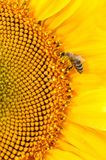 Bee collect nectar on big sunflowers flower Stock Photo
