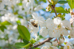 Bee collect nectar and pollen on a blossoming cherry tree branch. Close up view of bee collects nectar and pollen on a white blossoming cherry tree branch. White royalty free stock photography