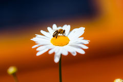 Bee collect nectar and pollen from chamomile. Bee collect nectar and pollen from flower Stock Photography