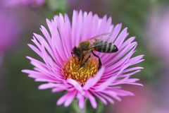Bee collect pollen from the aster flower Royalty Free Stock Images