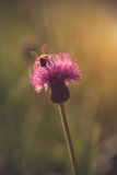 Bee collect pollen in field. At sunset Royalty Free Stock Photography