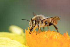 Bee collect pollen, macro shooting Royalty Free Stock Images