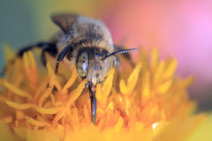 Bee collect pollen, macro shooting Stock Photos