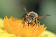 Bee collect pollen, macro shooting Royalty Free Stock Photo