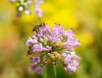 Bee collect pollen from the onion flower Royalty Free Stock Images