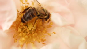 Bee Collect Pollen On Pink Rose Flower In Rural Garden stock video footage