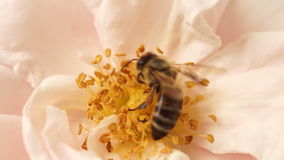 Bee Collect Pollen On Pink Rose Flower In Rural Garden In Summer Day stock footage