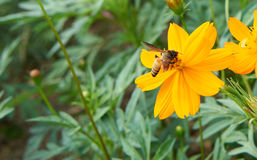 Bee collect pollen from yellow flower Royalty Free Stock Photo