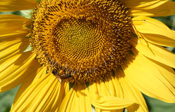 Bee collect pollen from yellow sunflower Stock Photography
