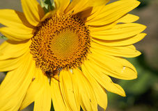 Bee collect pollen from yellow sunflower Stock Image