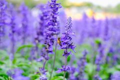 The bee is collecting and drinking the lavender flowers. stock photography