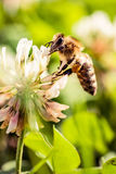 Bee collecting flower pollen Royalty Free Stock Photography
