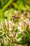 Bee collecting flower pollen Stock Photo