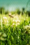 Bee collecting flower pollen Stock Photos