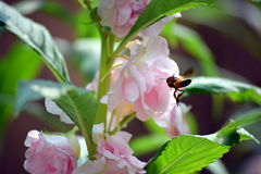 A bee collecting honey from the beautiful pink flower in my garden Stock Photography