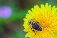 Bee collecting honey from a dandelion flower Stock Photo