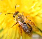 Bee collecting honey and dandelion Royalty Free Stock Photo