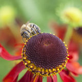 Bee collecting honey on echinacea Stock Image