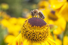 Bee collecting honey on echinacea Stock Images