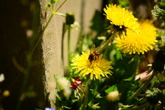 Bee collecting honey from a flower Royalty Free Stock Photo