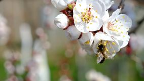 Bee collecting honey on a flowering tree in spring. Pollination of plants with bees. Slow-motion video. Bee collecting honey on a flowering tree in spring stock footage