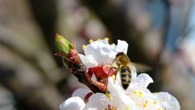 Bee collecting honey on a flowering tree in spring. Pollination of plants with bees. Slow-motion video. Bee collecting honey on a flowering tree in spring stock video