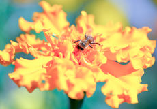 Bee collecting honey and Marigold in the fall Royalty Free Stock Image