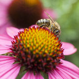 Bee collecting honey on pink echinacea Stock Photos