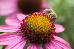 Bee collecting honey on pink echinacea Royalty Free Stock Photography