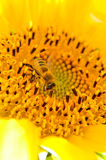 Bee collecting honey from sunflower Stock Photography