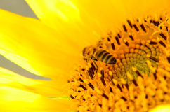Bee collecting honey from sunflower Royalty Free Stock Images