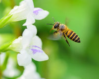 Bee Royalty Free Stock Photos