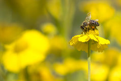 Bee collecting honey on yellow flower closeup. Photo of honey bee on yellow flower close-up Stock Image