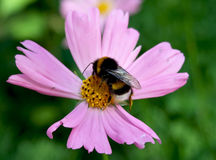Bee collecting nectar. Close-up with bee collecting nectar from a pink flower Royalty Free Stock Images
