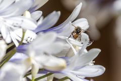 Bee collecting nectar from an Agapanthus flower stock photos