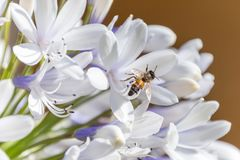 Bee collecting nectar from an Agapanthus flower on a sunny morning royalty free stock photos