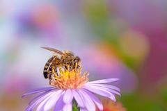 Bee Collecting Nectar on a Aster Flower stock photography