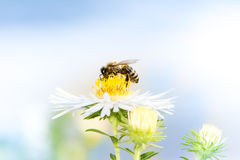 Bee Collecting Nectar on a Aster Flower. Honeybee collecting nectar on a white aster flower royalty free stock images