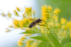 Bee on yellow blossom of goldenrods solidago. Bee collecting nectar in autumn - bee flying to yellow flower Royalty Free Stock Photography