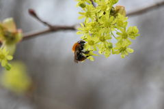 Bee collecting nectar. Beautiful spring flowering blooming yellow buds on blurred blue sky background bee collecting nectar Stock Image