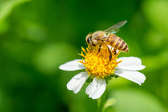 Bee collecting nectar on Bidens pilosa flower Stock Images