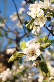 Bee collecting nectar from blooming white apple trees royalty free stock photo