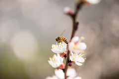 Bee collecting nectar from the blossom Stock Images