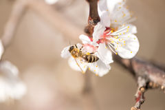 Bee is collecting nectar from the blossom Stock Photography