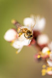 Bee collecting nectar from the blossom Royalty Free Stock Images