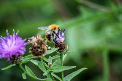 Bee collecting nectar. A bumble bee collecting nectar from a wild flower Stock Photo