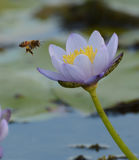 Bee collecting nectar. A bee collects nectar from a purple water lily in a billabong in northern Australia stock image