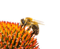 Bee collecting nectar at a conflower blossom Royalty Free Stock Photo