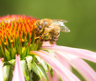 Bee collecting nectar at a conflower blossom Royalty Free Stock Image